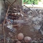 27.06. 3 Eier und viele Federn.png